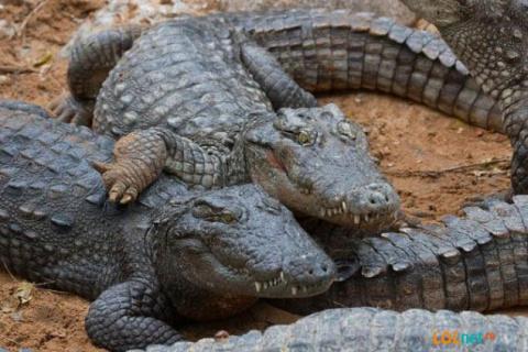 Крокодилищи!