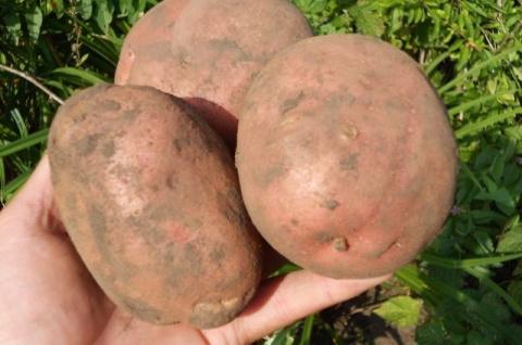 Сорта картофеля, показавшие …