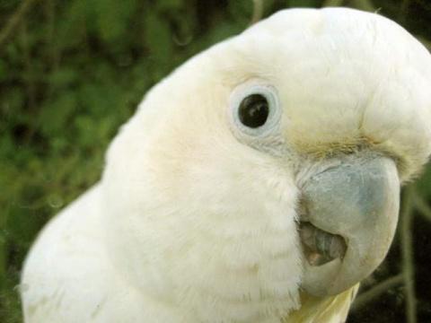 Танцующий попугай — звезда интернета