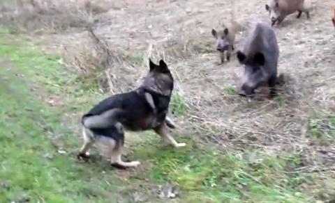 Собака играет с кабанами (видео)