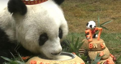 История жизни старейшей панд…