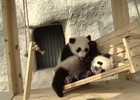 4 панды веселятся на детской площадке