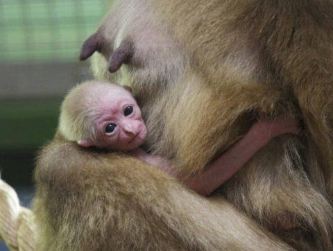 В зоопарке Санкт-Петербурга родился детеныш белорукого гиббона