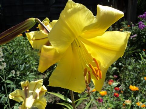 Поговорим о  красавицах- лилиях. Когда они  цветут ковром  уходить домой не хочется !