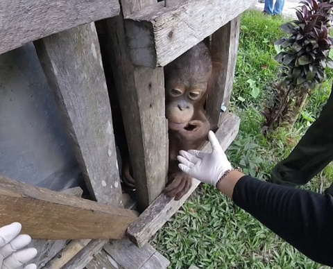 Вкус свободы: на Борнео освободили орангутана, который провел два года в тесном ящике