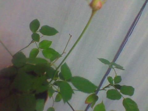 Посоветуйте, как за домашней розой, сейчас ухаживать?