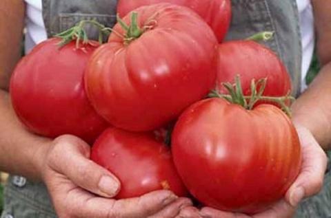 Мои заповеди выращивания вкусных томатов