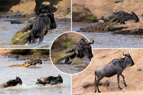 Антилопе посчастливилось выр…