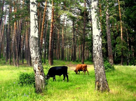 Пейзаж с коровками.