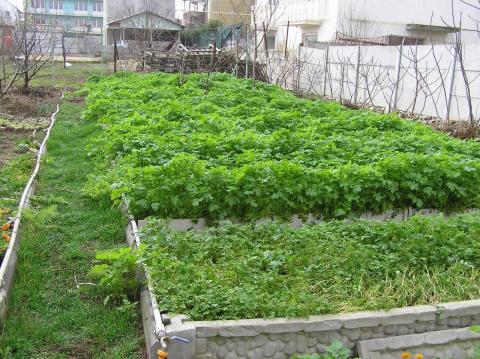 Наш рождественский огород - зелено круглый год!