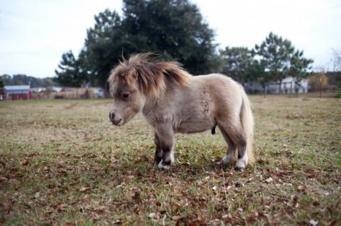 Шэмми - карликовый пони