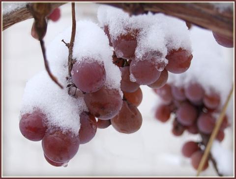 5 условий для успешного выращивания винограда на Северо-Западе России