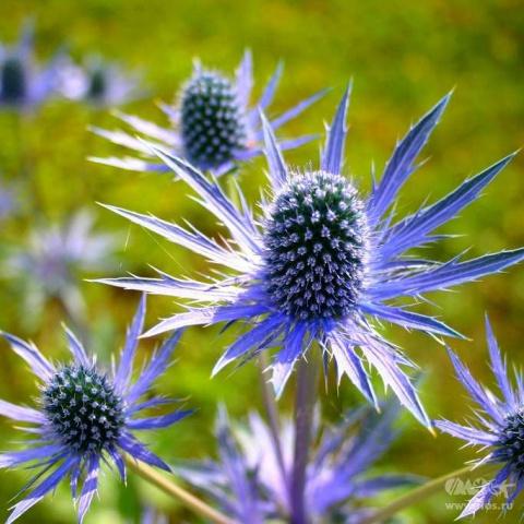 Любимец флористов. Как вырастить синеголовник из семян