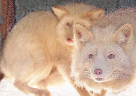 Розовая лисица