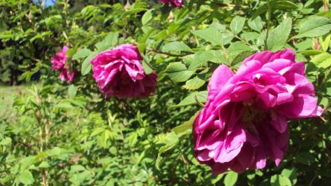 Неукрывные розы. Часть 4.