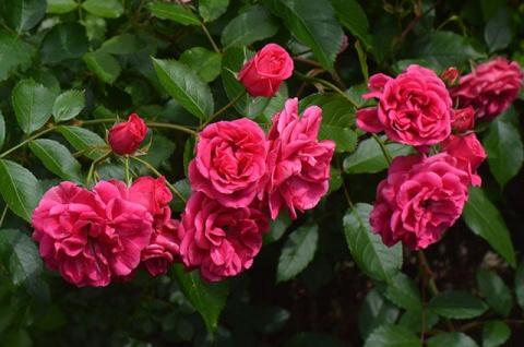 Как избежать аврала и подготовить розы к зиме