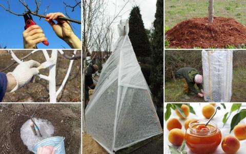 Подготовка абрикоса к зиме –…