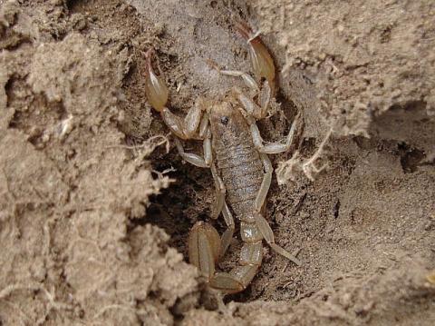 Скорпионы оказались отличными строителями