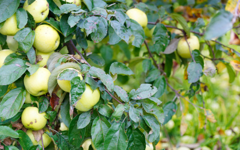 Как заготавливали яблоки сто лет назад : 6 простых рецептов