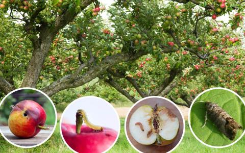 Яблонная плодожорка: как защ…