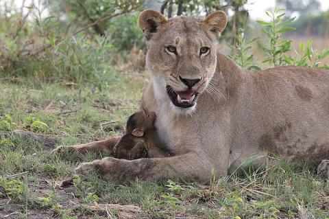 Львица убила бабуина, но то, что произошло дальше, повергло в шок фотографа