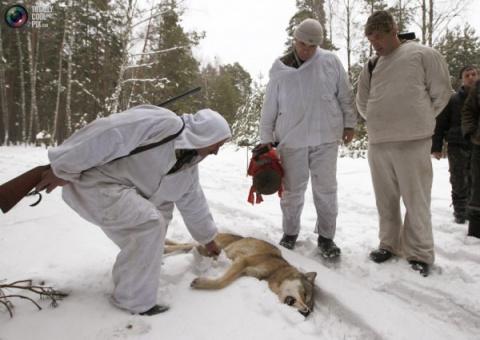 Охота на волков в Чернобыле