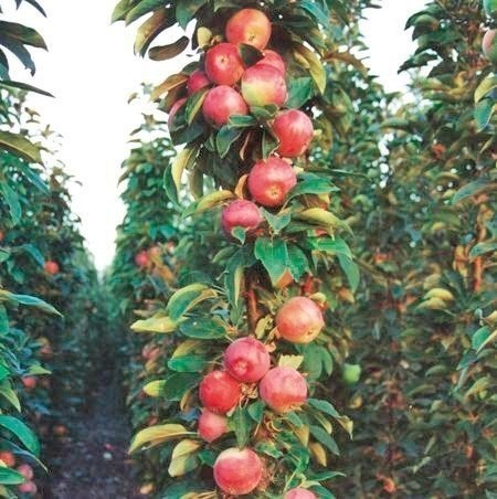 САД, ЦВЕТНИК И ОГОРОД. Колонновидные яблони: плюсы и минусы