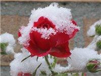 Подготовка роз к зиме: хорошие советы в одном видео уроке