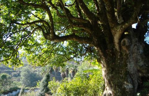 Эфирное масло чайного дерева…