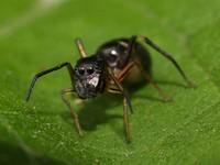 Зачем пауки притворяются муравьями?