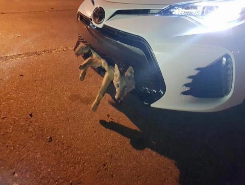 Машина сбила койота, но тот …