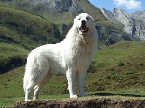 Пиренейская горная собака. Э…