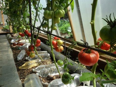 Выращивание томатов без полива