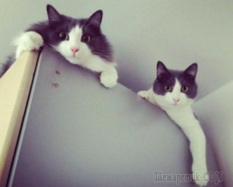 Кошки-перфекционисты