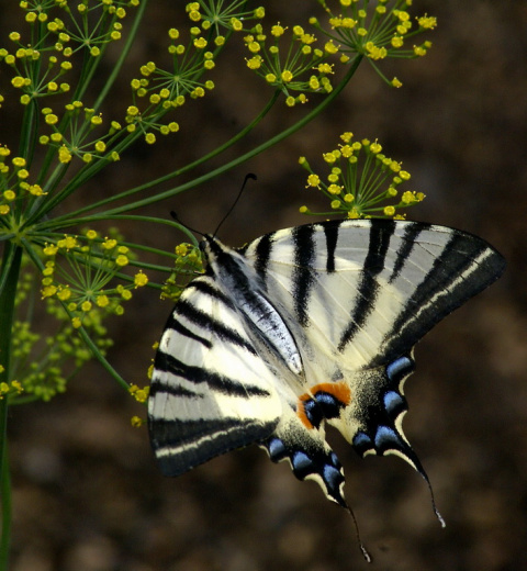 Бабочка. Большая укропница