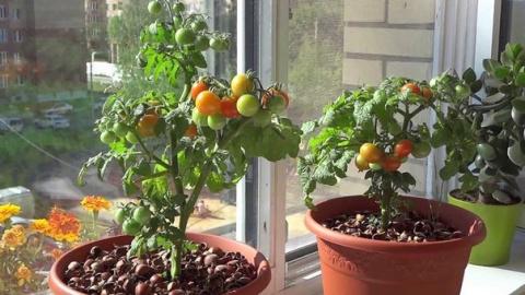 Самые ранние сорта томатов для балкона и домашнего огорода