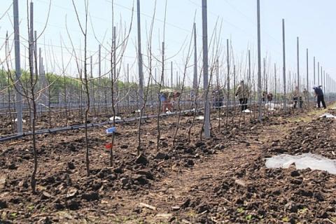 Новый яблоневый сад заложен на Ставрополье