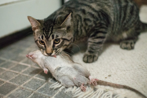 Почему кошки приносят добычу…
