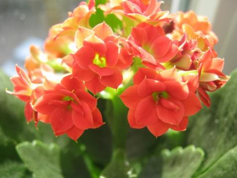Каланхоэ Блоссфельда – цветок под колпаком