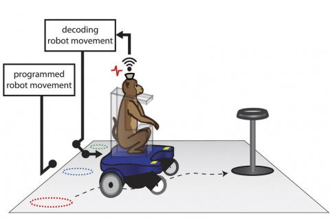 Нейростарости: ученые научили макак управлять креслом-каталкой силой мысли
