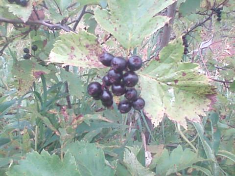 Собираем плоды шиповника, боярышника и рябины.