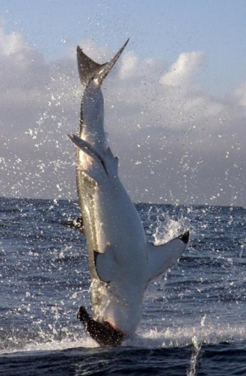 Возле побережья ЮАР заметили летающую белую акулу (видео)