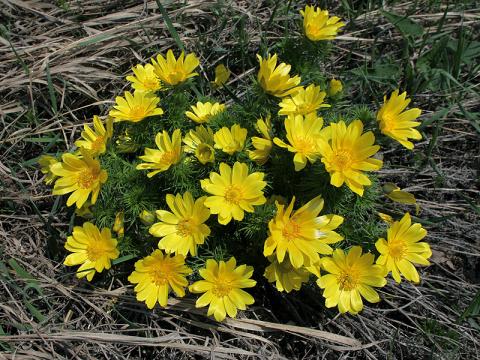 Адонис весенний (горицвет) - народные рецепты