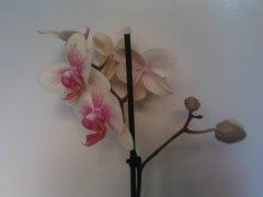 Уход  за орхидеей фаленопсис  в домашних условиях.(собственный опыт)