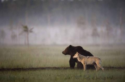 Уникальная дружба волчицы и медведя