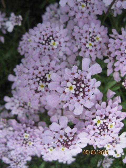 Иберис Гибралтарский — цвето…