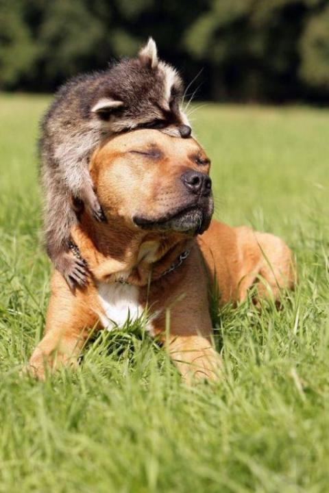 Милота — самые прикольные еноты в мире!