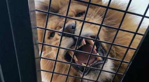 В австралийском зоопарке появился новый аттракцион, позволяющий посетителям побыть среди львов