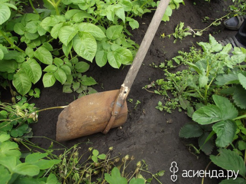 Сделаем легче окучивание грядок с картошкой - окучник своими руками, вернее руками мужа.