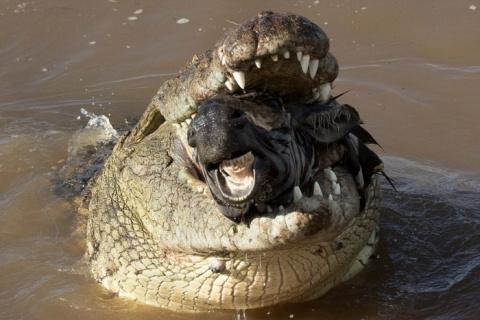 Жестокий момент: крокодил пы…